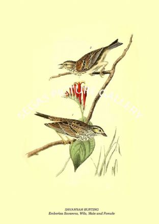 SAVANNAH BUNTING - Emberiza Savanna, Wils, Male and Female